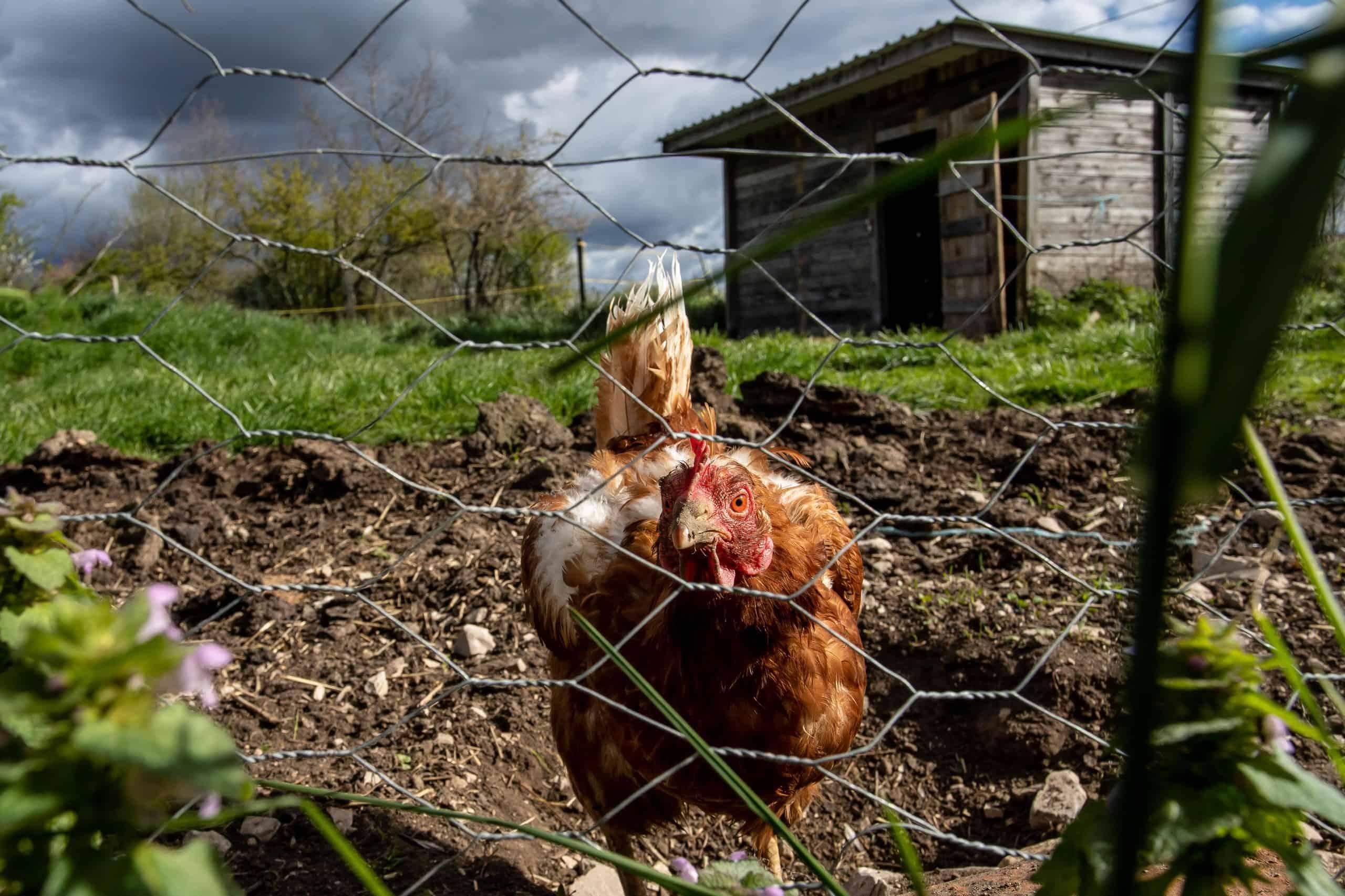 Chicken-WMC056