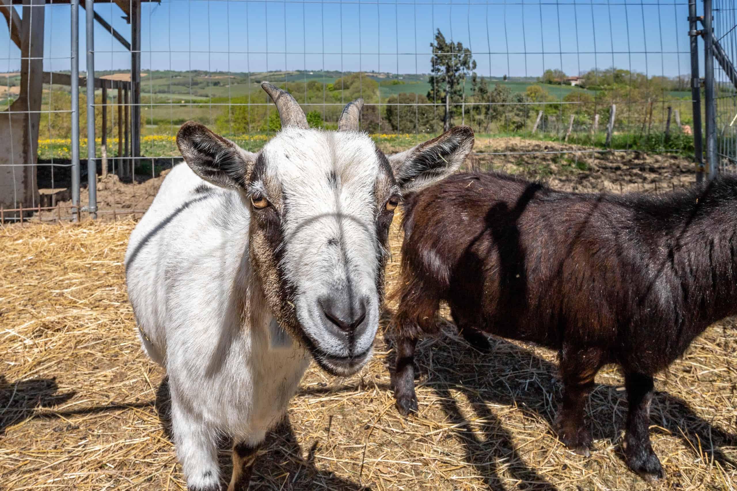 Goats-WMC070